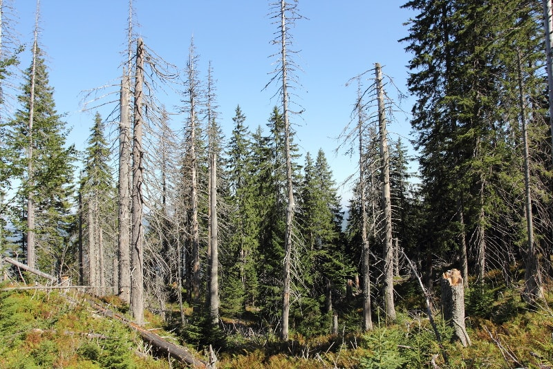 forest dying from drought and bark beetles
